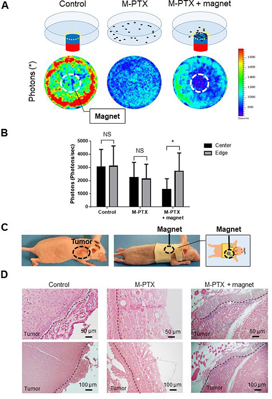 M-PTX is attracted by a permanent magnet in model mice in vivo.