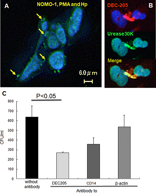 DEC-205′s expression on NOMO-1 cells following H. pylori infection and effect on phagocytosis.