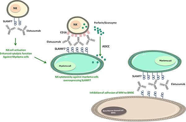 Mechanisms of Elotuzumab against myeloma cells.