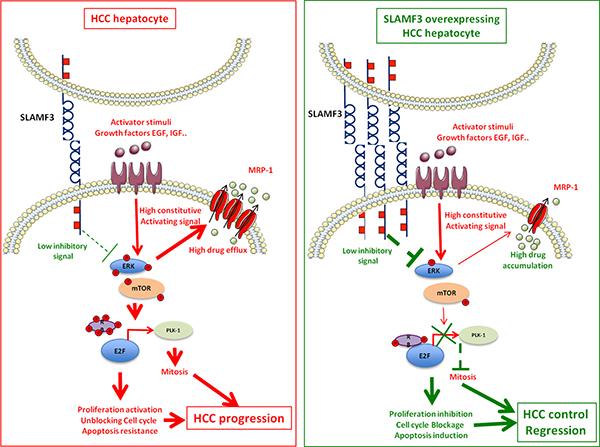 SLAMF3 implication model as hepatocellular carcinoma (HCC).