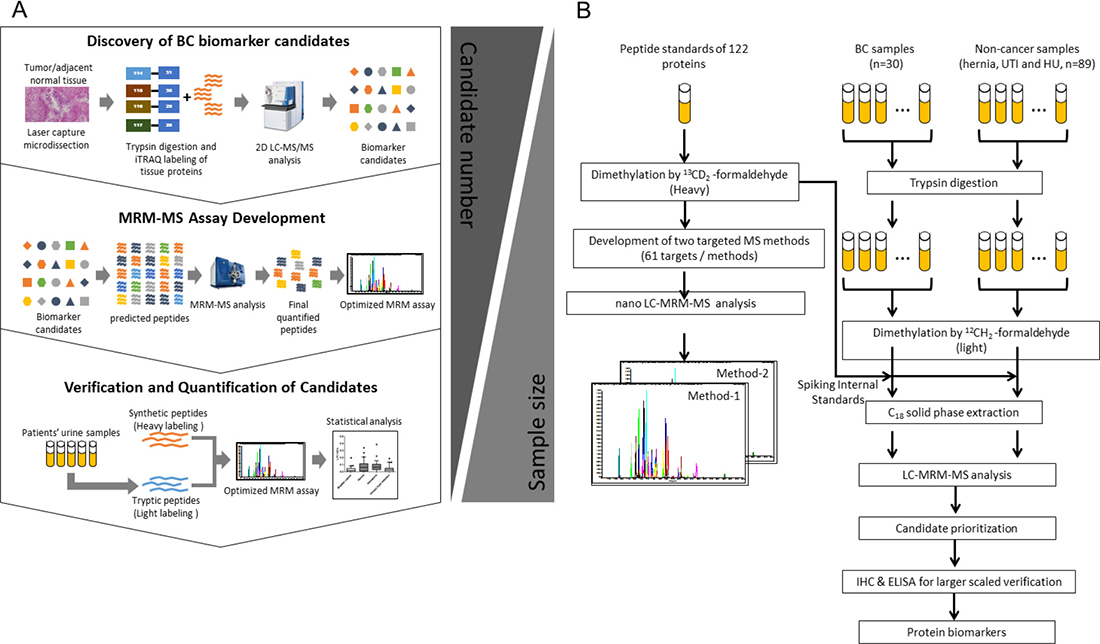 Workflow for the methodological verification of protein biomarker candidates in clinical urine samples.