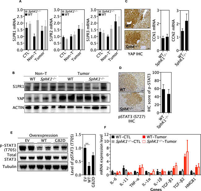 SphK1 deletion does not significantly alter the STAT3 or YAP pathway.