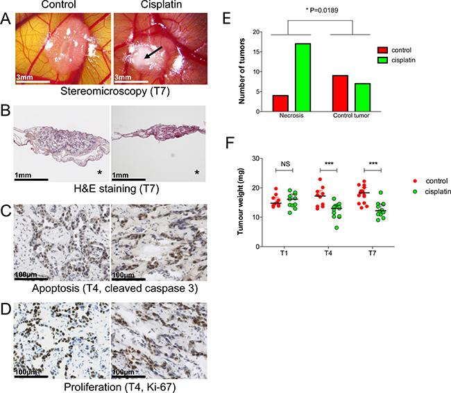 Cisplatin effects on experimental hepatoblastoma on the CAM.