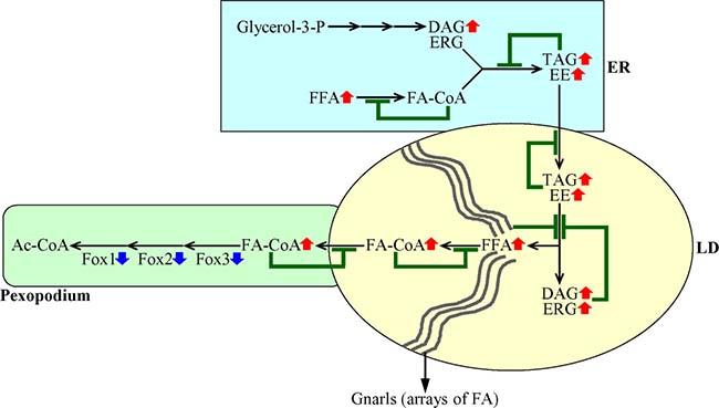 A mechanism through which a decline in the peroxisomal β-oxidation of FFA elicits negative feedback loops that regulate the metabolism and transport of several lipid classes in the ER and LD.