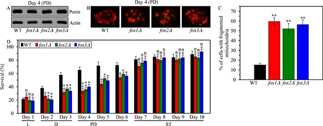 Effects of the fox1Δ, fox2Δ and fox3Δ mutations on mitochondrial abundance and morphology, and on cell susceptibility to mitochondria-controlled apoptotic RCD in yeast cultured under CR conditions.