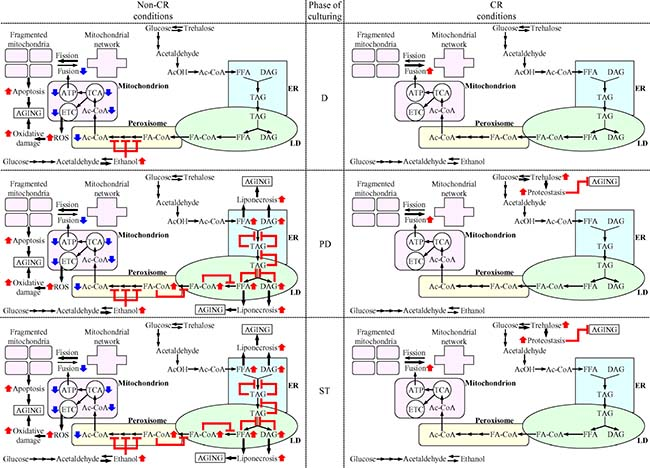 Mechanisms through which CR delays yeast chronological aging by coordinating the spatiotemporal dynamics of various cellular processes.