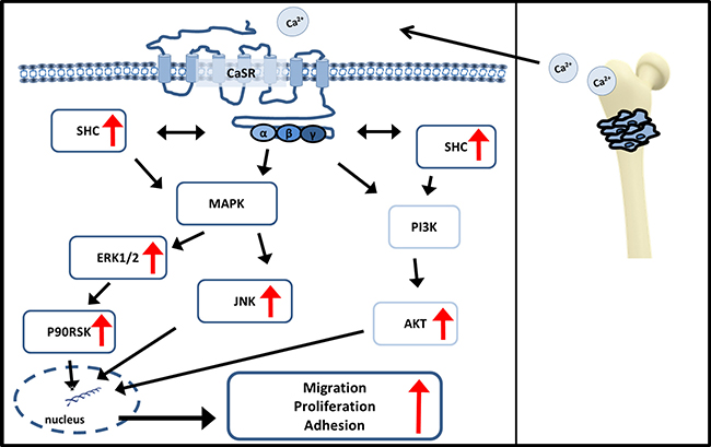 Signaling pathways influenced by CaSR.