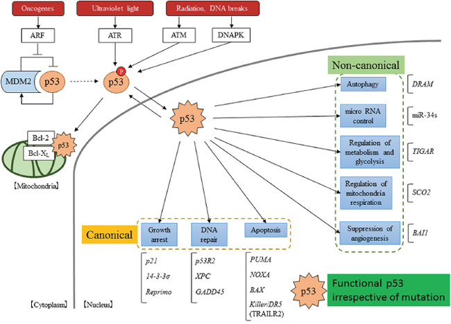 Scheme of the p53 pathway.