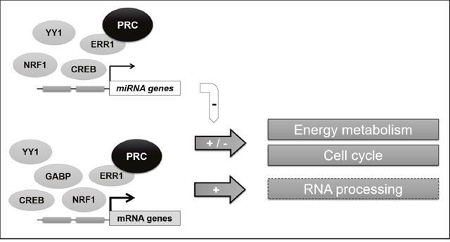 General scheme of the PRC-regulated transcriptional network in XTC.UC1 cells.