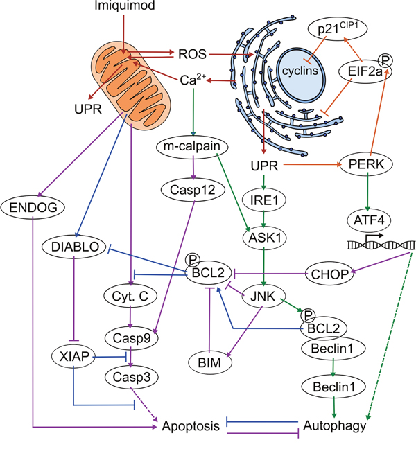 Proposed mechanism of imiquimod action in DFTD cells.