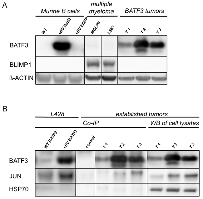 BATF3 interacts with JUN in BLIMP1-negative, BATF3-induced tumor cell lines.