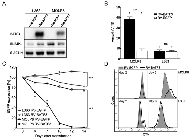 BATF3-overexpression leads to downregulation of BLIMP1 and apoptosis in multiple myeloma (MM) cell line MOLP8.