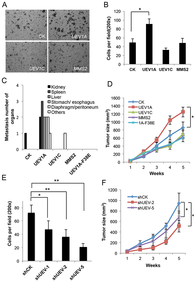 Experimental manipulation of UEV1A expression alters HCT116 cell invasion in vitro and metastasis in a xenograft mouse model.
