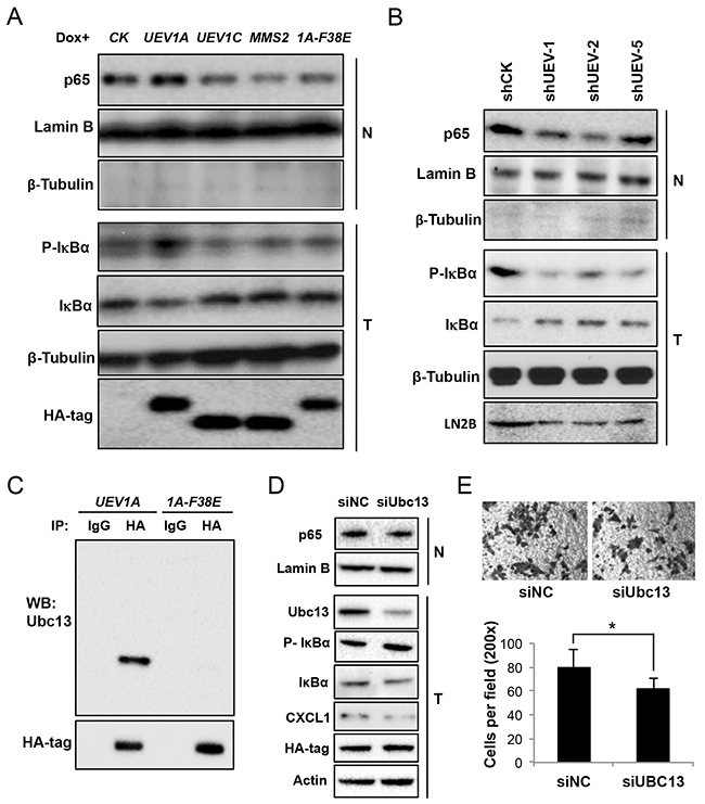 Uev1A activates NF-κB in colon tumors and HCT116 cells in a Ubc13-dependent manner.