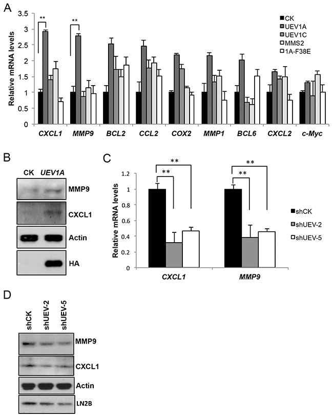 Uev1A positively regulates CXCL1 and MMP9 expression.