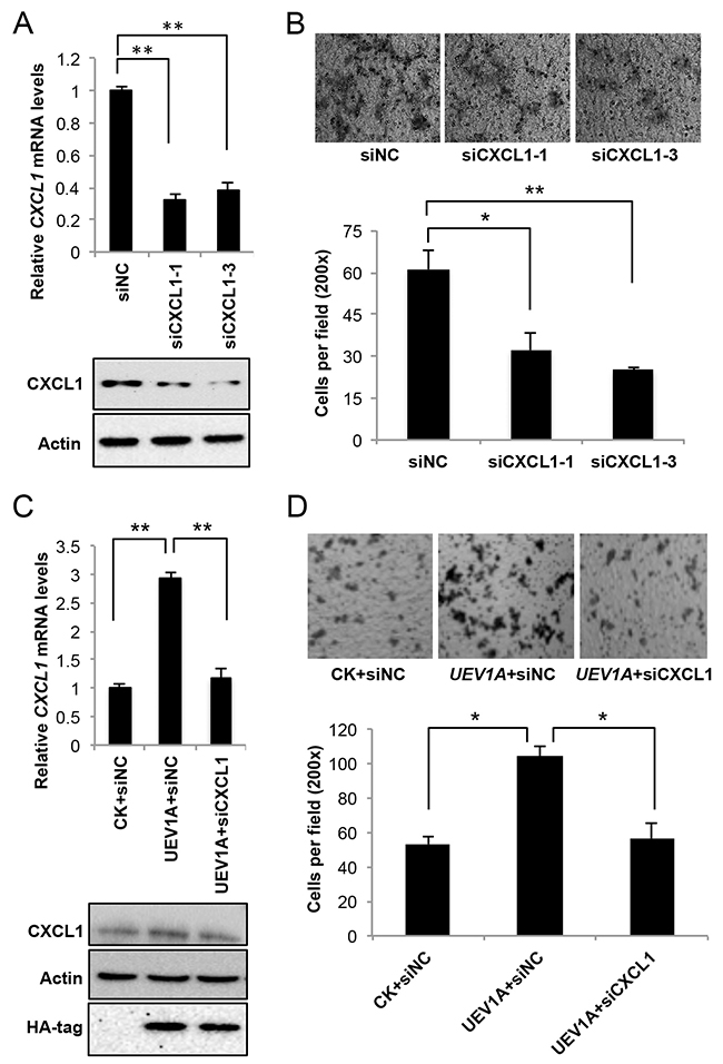 CXCL1 is a downstream effector for Uev1A-induced metastasis in HCT116 cells.