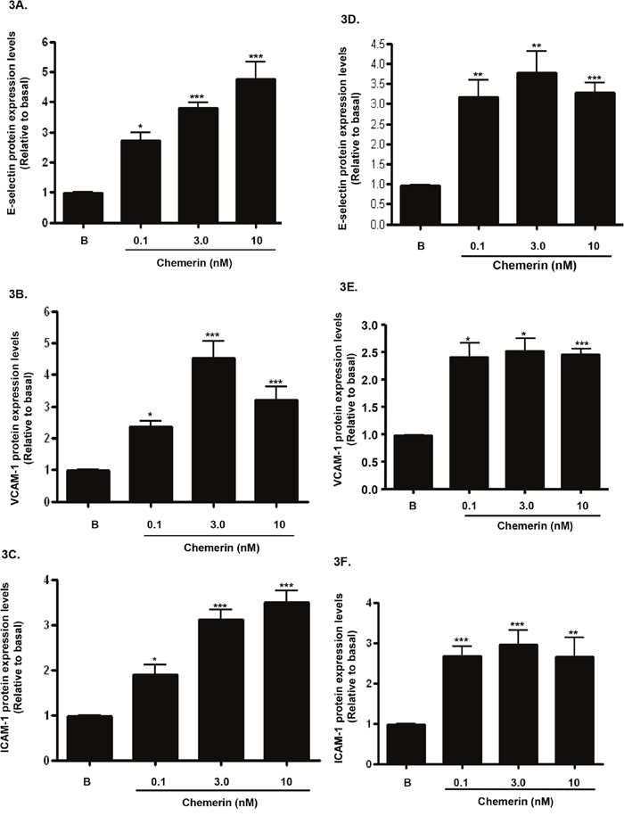 Chemerin increases endothelial cell adhesion molecules protein expression in HMEC-1 cells.