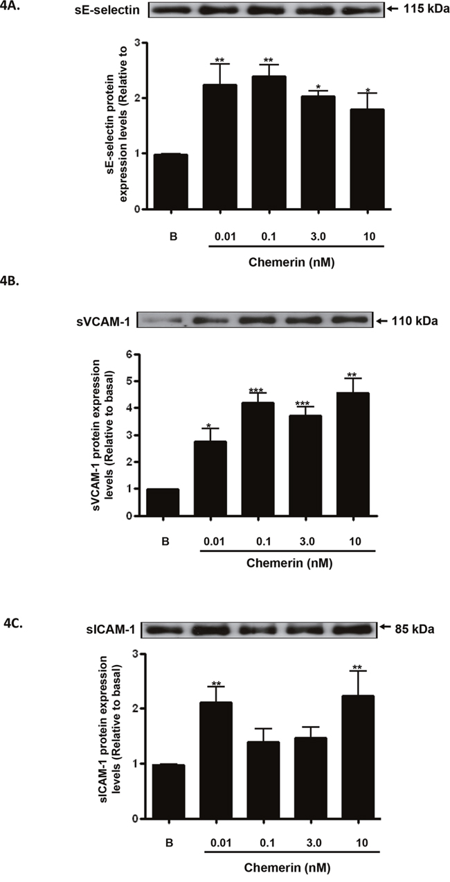 Chemerin increases endothelial cell adhesion molecules protein secretion in HMEC-1 cells.