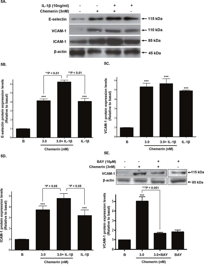 Chemerin and IL-1β co-incubation; synergistic increase in cell adhesion molecule expression.
