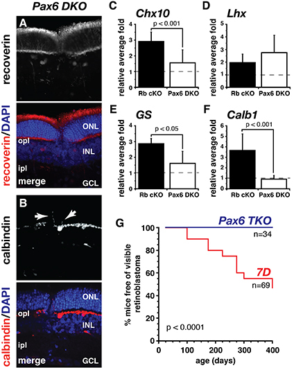 Pax6 rescues tumorigenesis but not retinal development on a retinoblastoma-sensitized background.