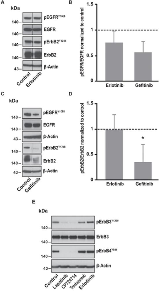 Effects of EGFR specific inhibitors on EGFR, ErbB2, ErbB3 and ErbB4 phosphorylation.