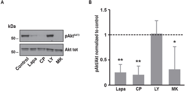 Effects of various inhibitors on Akt phosphorylation in A431 cells.