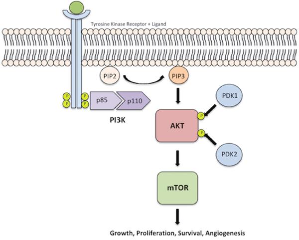 PI3K-AKT-mTOR pathway.
