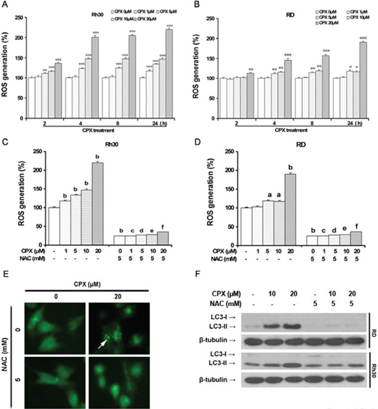 CPX increases intracellular level of ROS, thereby inducing autophagy.