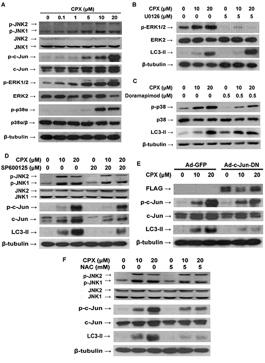 ROS-activated MAPKs pathway and JNK pathway contributes to CPX-induced autophagy.
