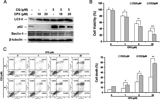 Inhibition of autophagy by CQ enhances CPX-induced autophagy and cell death.