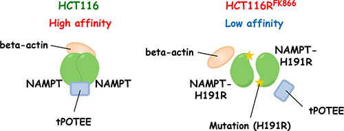 Predicted structure of NAMPT in HCT116RFK866 and parental HCT116 cells.