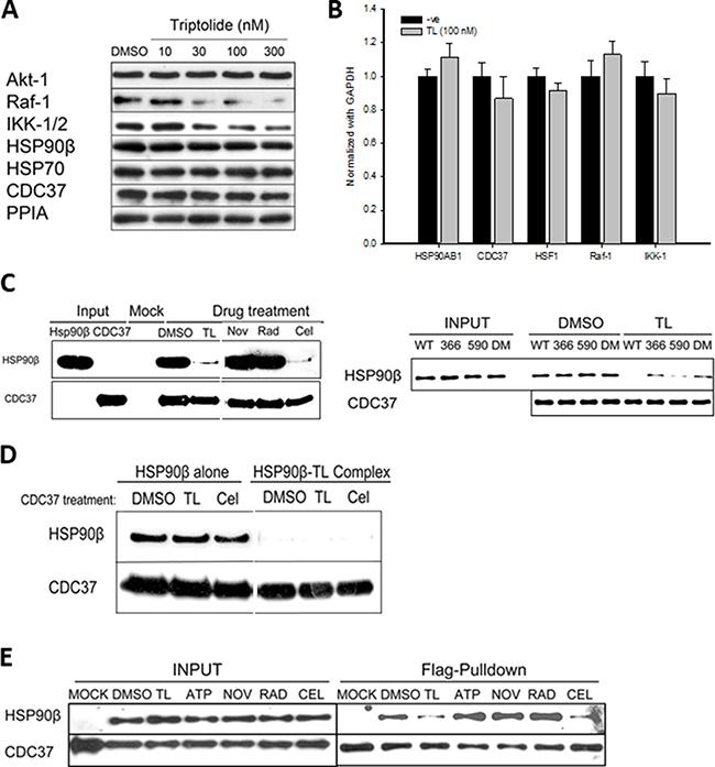 Triptolide destablizes HSP90β-CDC37 complexes and causes selective client protein degradation.