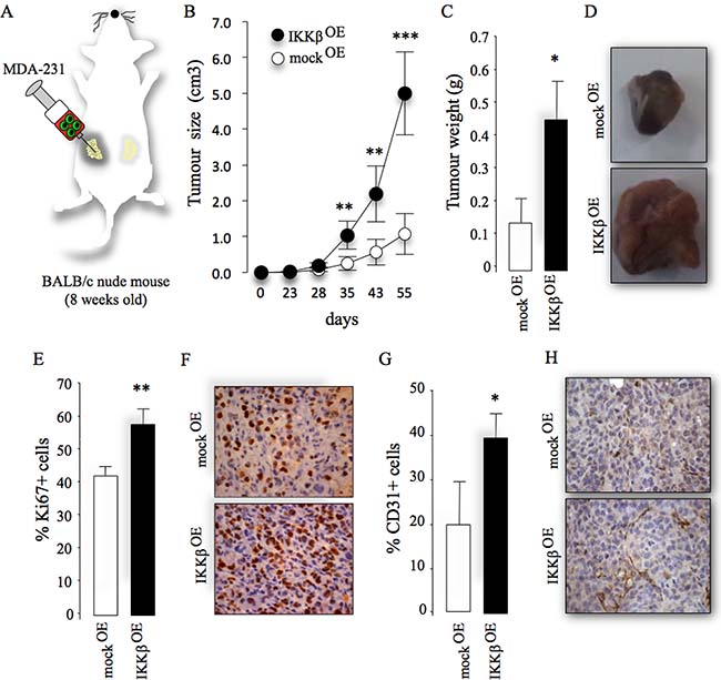 Cancer-specific IKKβ enhances primary tumour growth.