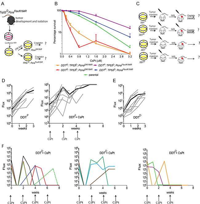 Assessing the chemosensitizing potential of lymphoma defective in PCNA ubiquitination.