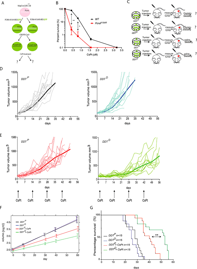 Assessing the chemosensitizing potential of a DDT blockade in mammary gland tumor model.