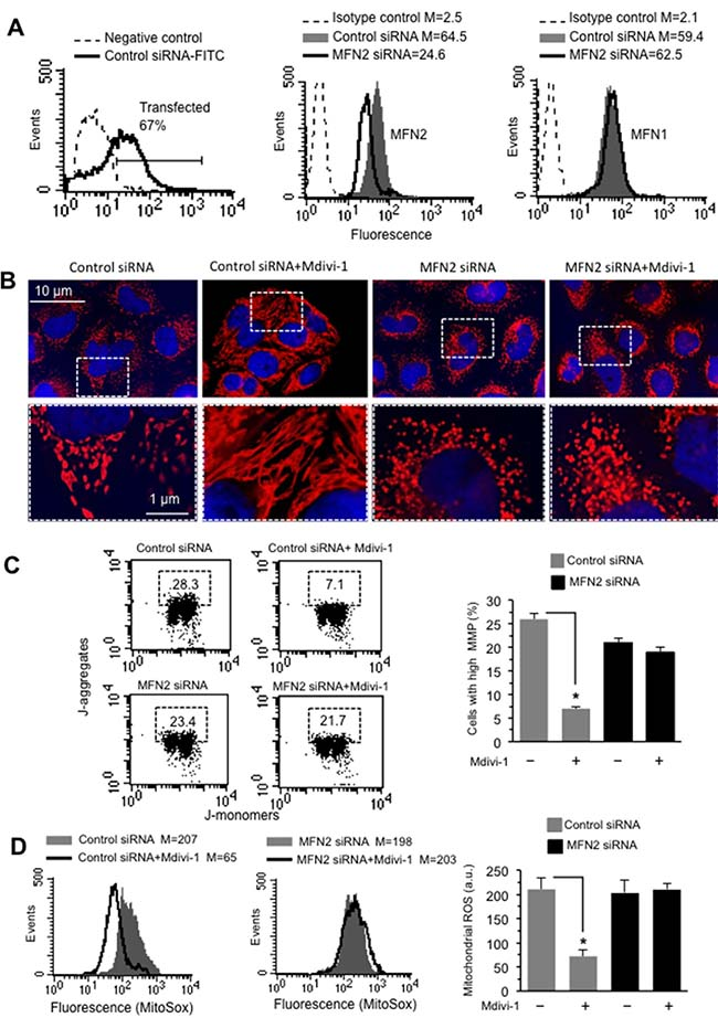Effect of MF2 silencing on mitochondria network organization.