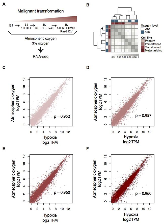 Transcriptome profiling of the four-step BJ cell model for malignant transformation, in atmospheric and moderate hypoxic conditions.