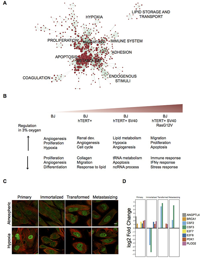 Functional Enrichment Analysis of differentially expressed gene sets and expression of HIF1a across the BJ model in both oxygen conditions.