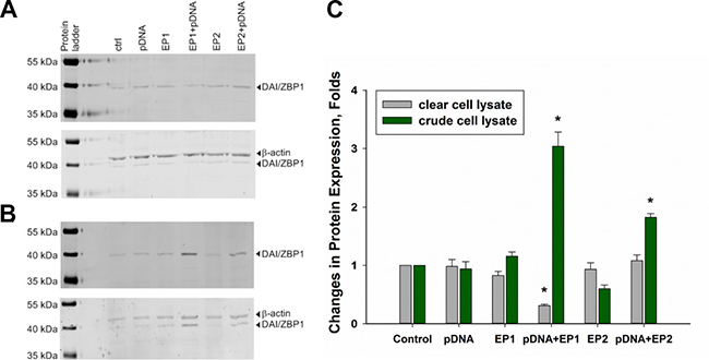 Changes in DAI/ZBP-1 expression in TS/A cells.