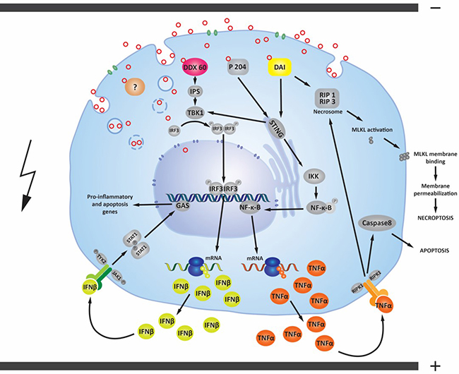 Possible signaling pathways activated by pDNA electrotransfer of tumor cells.