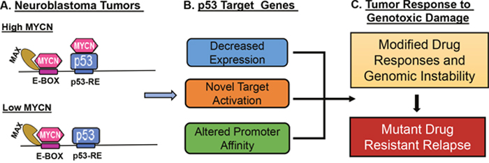 Schematic model for impact of MYCN and p53 interactions on neuroblastoma tumor biology.