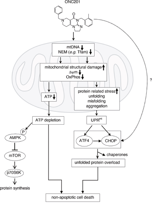 Proposed mechanism of action of ONC201 (see detail in Discussion).