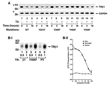 Identification of the cSrc-targeted phosphorylated Y406 in TRβ1.