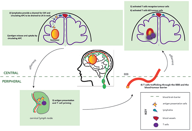 The afferent and efferent arms of the CNS immune system.