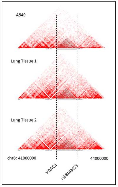 Hi-C heat maps for lung cancer cell line and lung tissues.