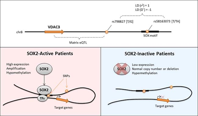 Graphical summary of the regulation of VDAC3 by SOX2.