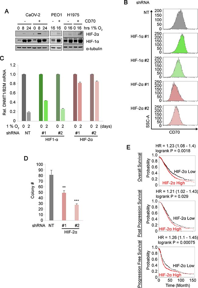 HIF-2α regulates CD70 expression and anchorage-independent growth.