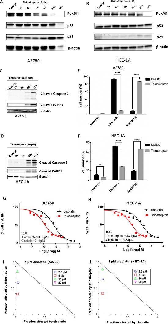 FoxM1 inhibitor thiostrepton downregulates FoxM1 expression and induces cytotoxicity in cancer cell lines with wild type or mutant TP53.
