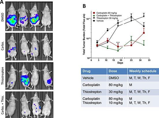 Thiostrepton enhances in vivo carboplatin sensitivity in HEC-1A cancer cells.
