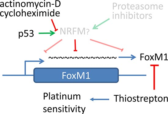 Hypothetical model of FoxM1 regulation by p53 through a putative negative regulator.